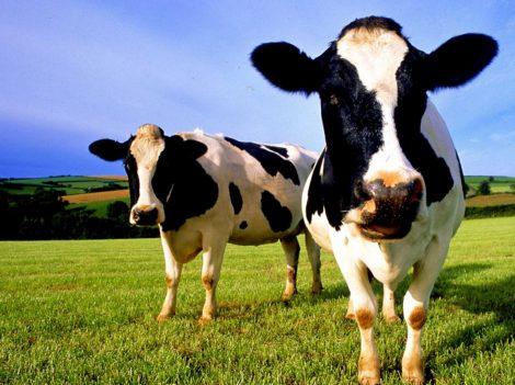 Опыт применения адаптогена широкого спектра действия в рационах коров на раздое