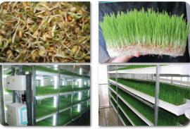 Зеленый гидропонный корм круглый год