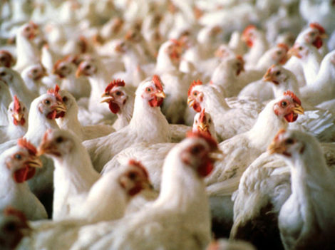 Влияние крезацина на мясную продуктивность сельскохозяйственных птиц
