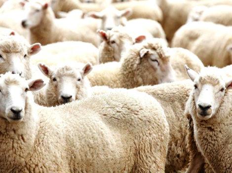 Применение Иркутина для овец