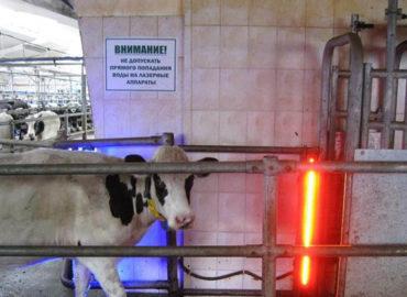 Рентабельное животноводство с фототерапевтическими аппаратами